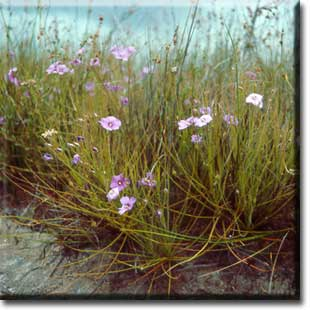 carnivorous plants, Byblis, rainbow plant, plant, flower