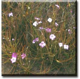 Carnivorous plant - Byblis gigantea