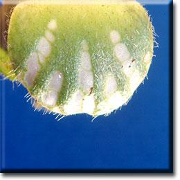 Carnivorous plants - Cephalotus follicularis