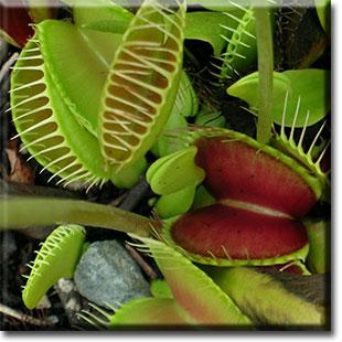 carnivorous plant, Dionea, venus flytrap, plant, flower, fly trap