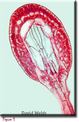 carnivorous plants, Drosera