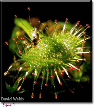 Carnivorous plant, Drosera