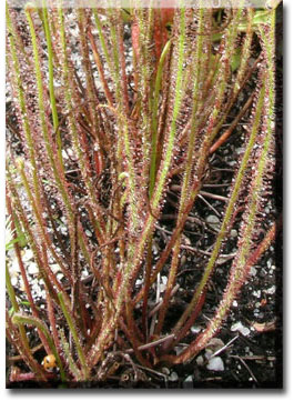 carnivorous plants - Drosophyllum-4