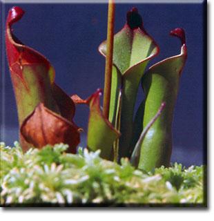 carnivorous plant, Heliamphora nutans, plant, flower