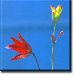 Heliamphora heterodoxa, Carnivorous Plants