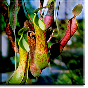 carnivorous plants, Nepenthes, plant, flower