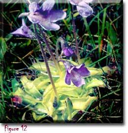 Pinguicula vulgaris, butterworts, David Webb, Carnivorous plant