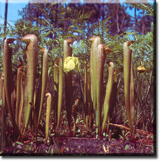 Carnivorous plant - Sarracenia minor