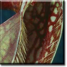 Carnivorous plant - Sarracenia psittacina