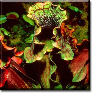 carnivorous plant, sarracenia purpurea, pitcher plant, plant, flower