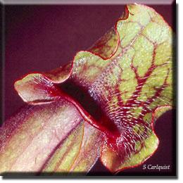 Carnivorous plant - Sarracenia purpurea