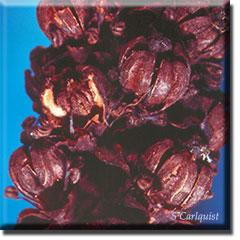 parasitic plant - Allotropa virgata