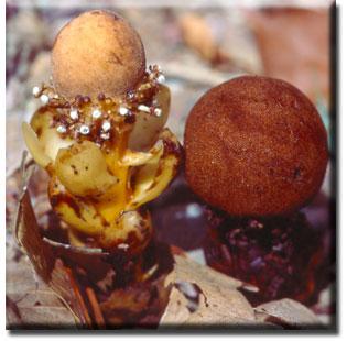 parasitic plant - Balanophora fungosa