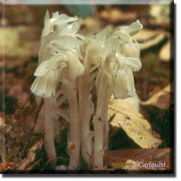 parasitic plant - Monotropa uniflora