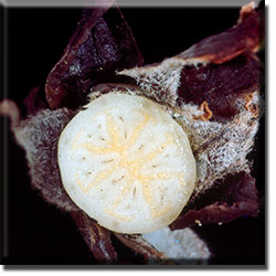 parasitic plant - Pityopus californica