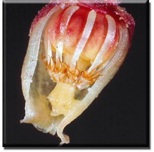 parasitic plant - Pterospora andromedea