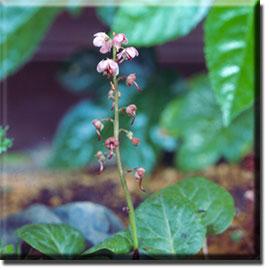 parasitic plant - Pyrola incarnata