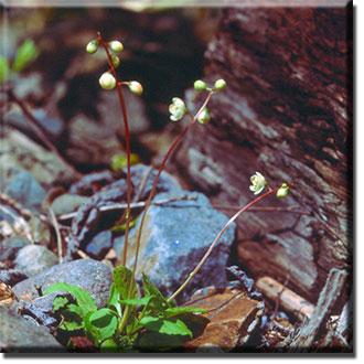 parasitic plant - Pyrola japonica