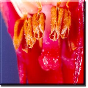 parasitic plant - Sarcodes sanguinea