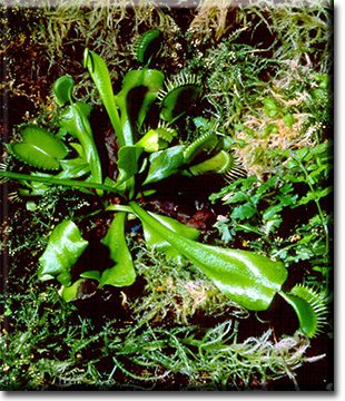 Picture of Venus' Flytrap in the wild.