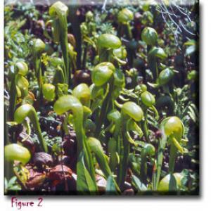 setSC-Darlingtonia_californica-2