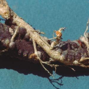 setSC-Hydnora_africana-12