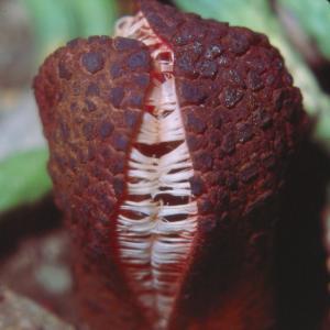 setSC-Hydnora_africana-5