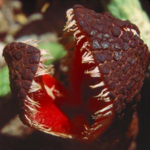setSC-Hydnora_africana-6