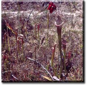 setSC-Sarracenia_leucophylla-2